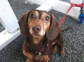 Wanted a dachshund