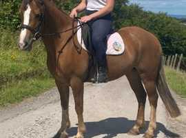 Rare opportunity to purchase a class welsh pony !!