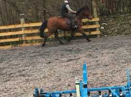 Lovely 14.3 12year old gelding