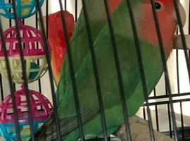Pair of Lovebirds with cage