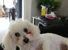 Beautiful 1 year old bichon frise  for sale