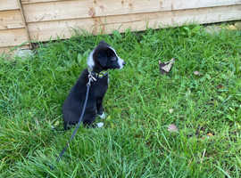 COLLIE PUP MALE - JET
