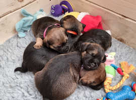 2x Female Border Terrier Puppies for Sale