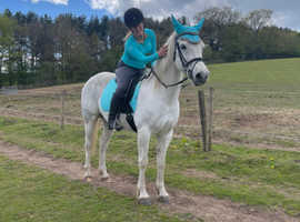 Wanted Arab foal/youngster