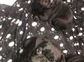 Pugs Ready to Leave now