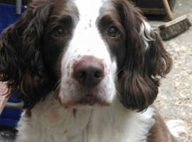 wanted springer spaniel pup