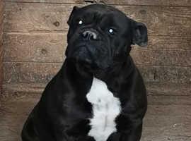 2 bulldog adult females 1 x lilac 1x Black