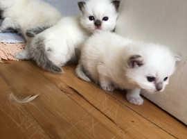 Blue point & minx Ragdoll kittens