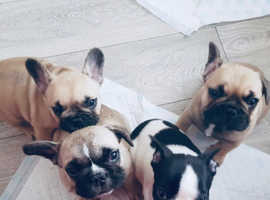 **Stunning fawn frenchbulldog puppies for sale***