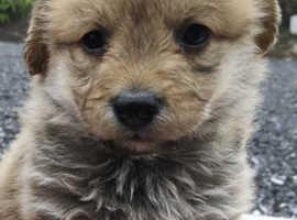 Corgipoo  Corgi x toy poodle