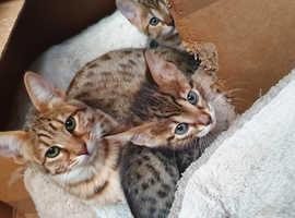 Savannah kittens County Down