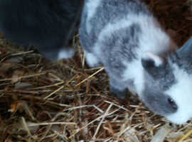 baby pure Netherland dwarf rabbits handled used to children