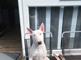 English Bull Terrier Pups - KC Registered