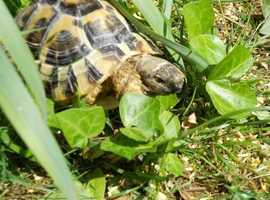 Wanted - Female Hermann Tortoise upwards of 13 Years old