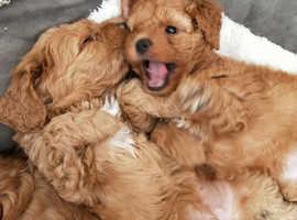 Beautiful F1 Cavapoo Puppies