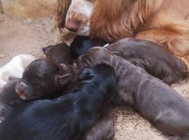 P.R.A clear cockerpoo puppies