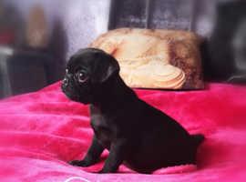 Pug puppy pup