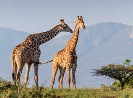 """Giraffes Photograph Mounted on Canvas  12"""" x 8"""" x 18mm. FREE DELIVERY"""