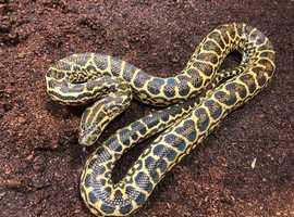 Yellow anacondas