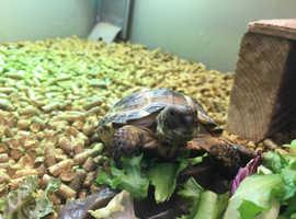 Horsefeild  tortoise