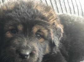Stunning Caucasion Ovcharka X Tibetan Mastiff