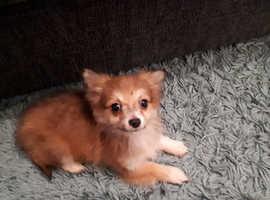 pomchi 11 week old puppy urgent
