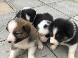 Shetland x collie puppies