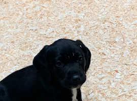 Labrador x Springer Spaniel Puppies