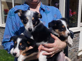 Gorgeous Border Collie Puppies for Sale