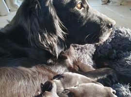 Beautiful Flatcoat Puppies for sale