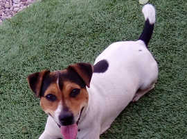 JACK RUSSELL STUD (not for sale)