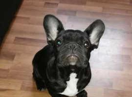 amazing pure french bulldog boy