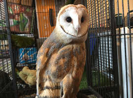 Barn owl 3 month old hand tamed with papers