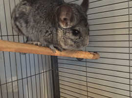 Pair of male and female chinchillas