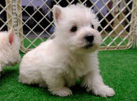 Teddy West Highland Terrier boy