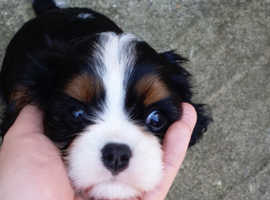 KC reg Cavalier King Charles TriColor Girl