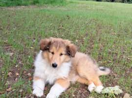 Beautiful Rough Collie pups
