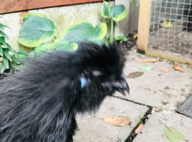 Black silkie looking for good home