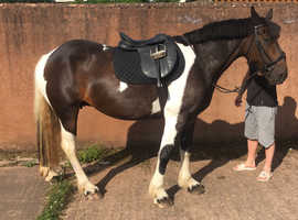 16.1 mare for sale!