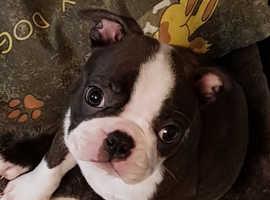x4 boston terrier puppies