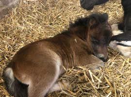 Miniature Shetland colt foal