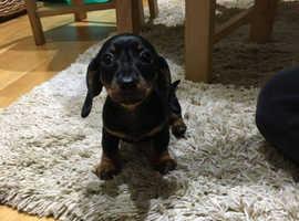 Beautiful Miniature dachshund Girl.