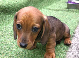 1 male smooth miniature dachshund for sale
