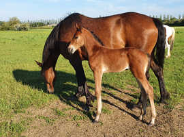 May 2021 Filly to make 16hh+
