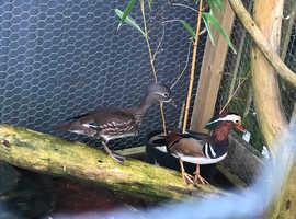 Mandarin Ducks for sale
