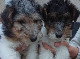 KC Registered Wire Haired Fox Terrier pups for sale