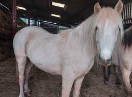 Unbroken pony for sale