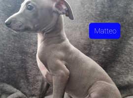 Stunning Blue Italian Greyhound Pups