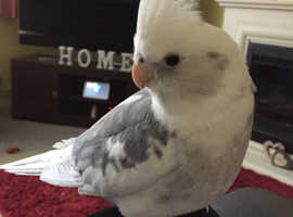 Semi tame Male Cockatiel
