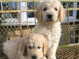 Beautiful chunky F1 Goldendoodle Puppies